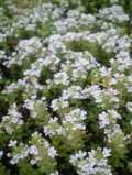 タイム 白花クリーピング
