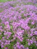 タイム 赤花クリーピング
