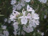 ローズマリー 白花