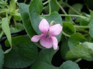 画像1: スィートバイオレット ピンク