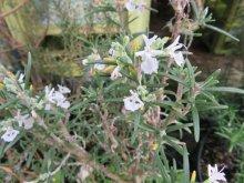 その他の情報1: ローズマリー 白花