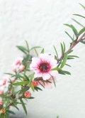 ティーツリー マヌカ 赤花